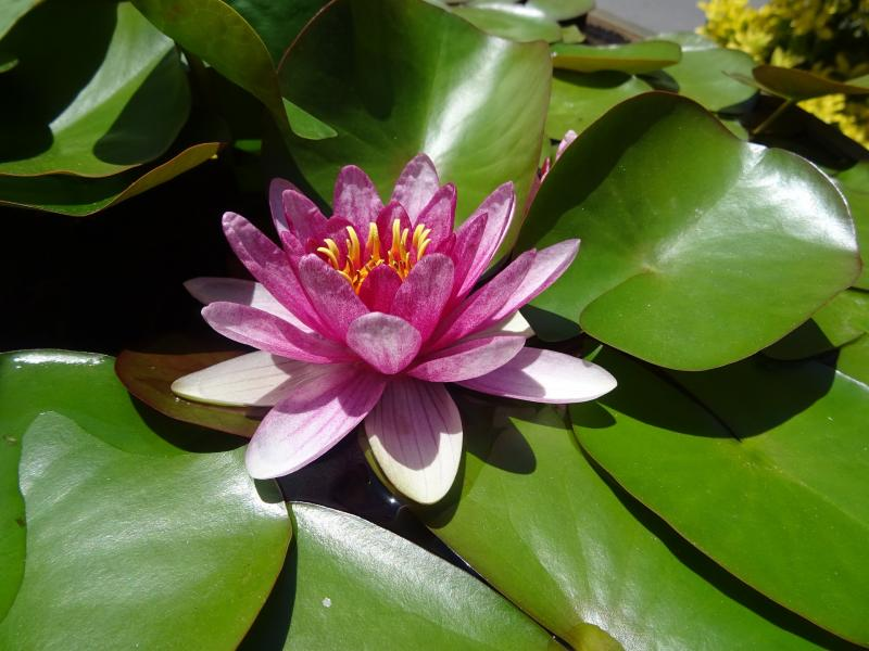 Water lilies 904857 1920